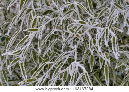 Frozen bamboo. Frozen bamboo branch leaf covered with hoar frost and snow close up view.