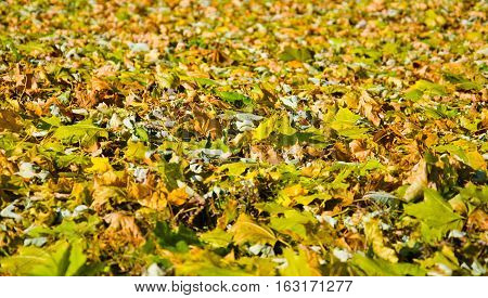 Autumnal background of the colored maple leaves