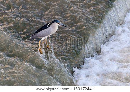 Black-crowned night heron catching fish in fast water