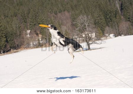 Border Collie catch a flying toy. It is sunny winter time