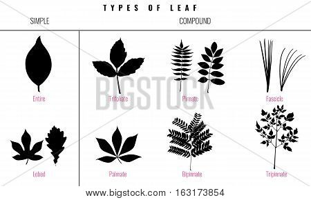 Leaf types infographics. Set of leaf collection. Silhouette Isolated Vector