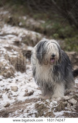 Beautiful Bearded Collie on walk in nature