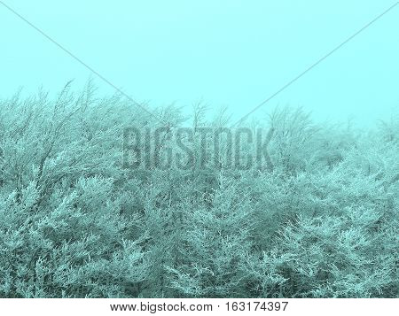 A blue monochromatic photo of frozen bushes