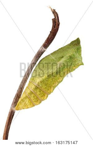Old World Swallowtail (Papilio machaon) butterfly chrysalis attached to a stick
