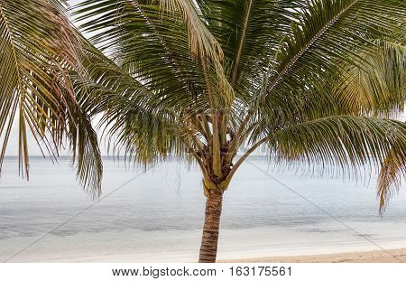 A palm tree Arecaceae on a beach near the ocean. Location is Jamaica.