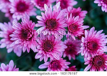 Chrysanthemum. Flowers pink chrysanthemum in autumn garden.