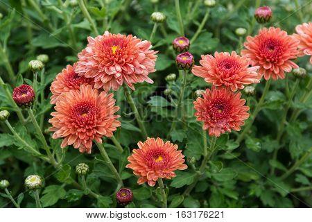 Chrysanthemum. Flowers orange chrysanthemum in autumn garden.