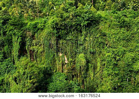 Green Trees jungle background on mountainside bali