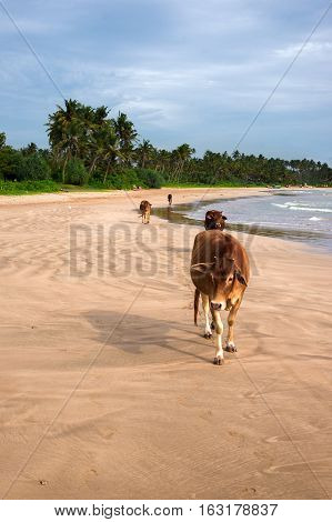 leisure series: cow take a sunbathe on the sea beach