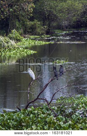 Little egret and little cormorant Indian roller in Thabbowa sanctuary, Puttalam,Sri Lanka