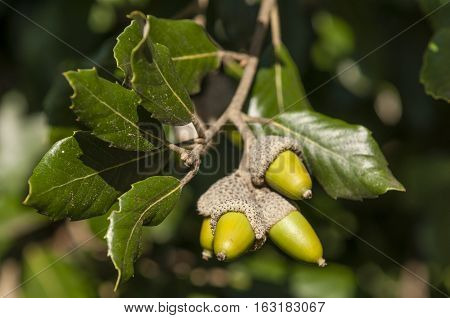 Green leaves and acorns of holm oak tree in autumn