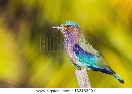 Indian roller in Thabbowa sanctuary, Puttalam,Sri Lanka ; specie Coracias benghalensis family of Coraciidae