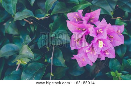 Pink Bougainvillea flower or Paper flower copy space
