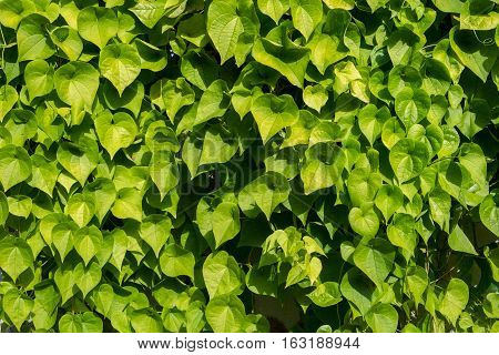 the green leaf wall background green pantone