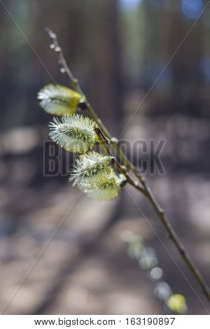 Willow Blossomed On The Branches Of Willow Trees The Buds Swelled.