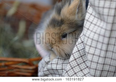 A small rabbit remains motionless In the arms of a child