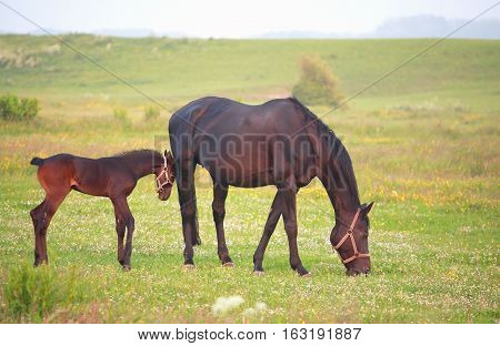 mother horse with foal on pasture outdoors