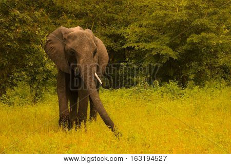 One huge elephant walks and grazes in the South African bushes. Botstvana. South Africa