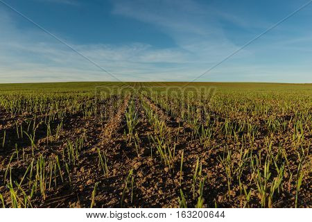 Field of green young shoots of winter wheat on background of blue sky