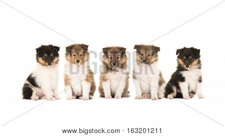 Five 6 week old shetland sheepdog puppies sitting in a row facing the camera isolated on a white background