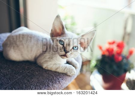 Pretty Devon Rex kitten is sitting on the scratching post and looking out of the window. Sun light flair effect. Kitten with blue eyes