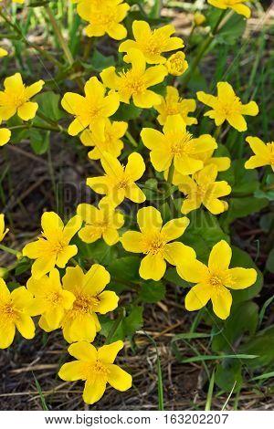 Marsh Marigold (Caltha palustris) flowers in pond