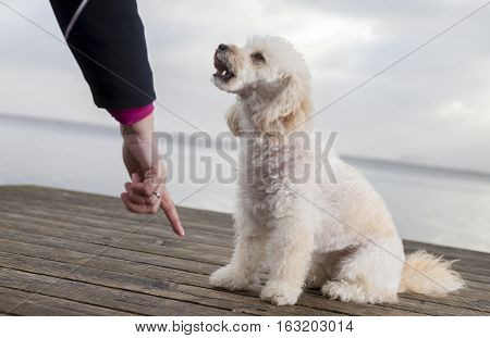 white poodle mongrel sits on wood planks and looks to his owner