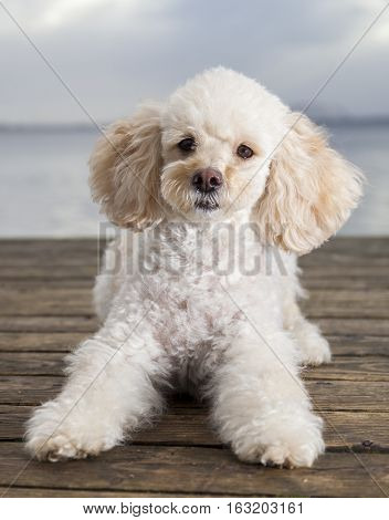 white poodle mongrel lies on wood planks
