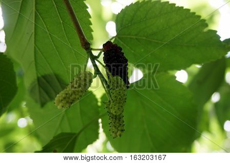 Mulberries ripen on an Illinois everbearing mullberry tree (Morus alba x Morus rubra) during June in a garden in Joliet, Illinois.