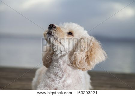 white poodle mongrel looks to his owner