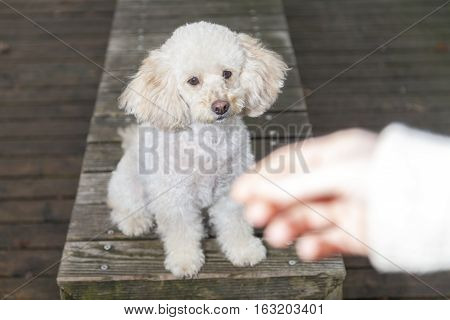 white poodle mongrel sits on wood planks and looks to a human hand