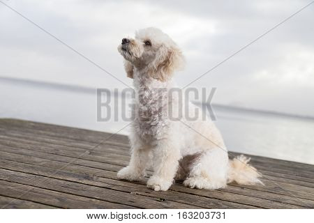 white poodle mongrel sits on wood planks