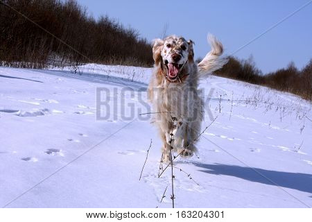 Cute funny spotty white big dog of hunting breed - english setter - running in the frozen winter field on white snow background