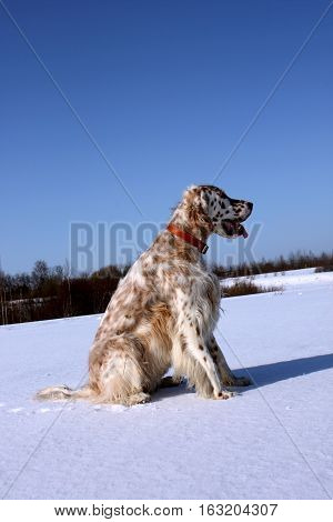 White spotty puppy setter of hunting breed sitting on the white snow on frosty blue sky background