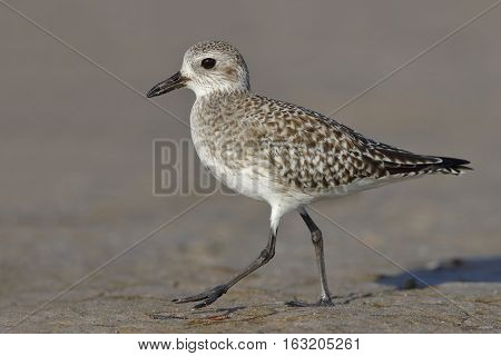 Black-bellied Plover Foraging On A Florida Beach