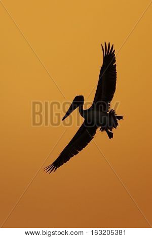 Brown Pelican In Flight Silhouetted Against A Florida Sunset