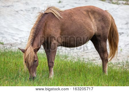 A Wild pony horse of Assateague Island Maryland USA. These animals are also known as Assateague Horse or Chincoteague Ponies. They are a breed of feral ponies that live in the wild on an island off the coast of Maryland and Virginia.