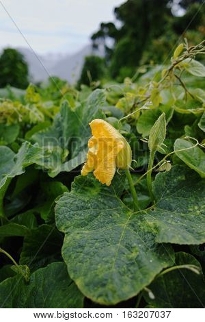 Zucchini (Cucurbita pepo) yellow flower and green leaves. Winter on Tenerife Anaga