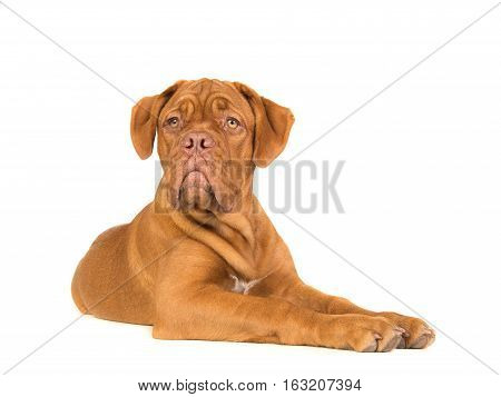 Cute dogue de bordeaux lying down seen from the sinde looking up isolated on a white background