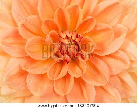 Close up full frame of a blooming orange chrysanthemum flower