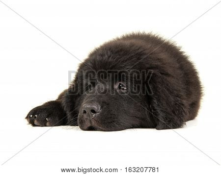 Cute black new foundlander puppy lying down on the floor tired with it's head on the floor isolated on a white background