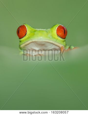Red eye tree leaf frog from costa rica with great red eyes peaking over a leaf
