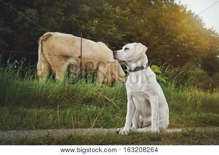 young labrador retriever dog puppy sits in front of a cow