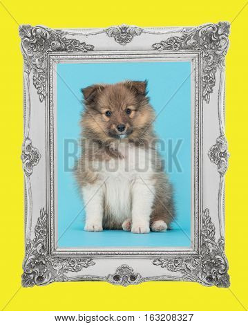 Shetland sheepdog cute sheltie puppy dog sitting on a blue background facing the camera with a baroque silver picture frame and a yellow border