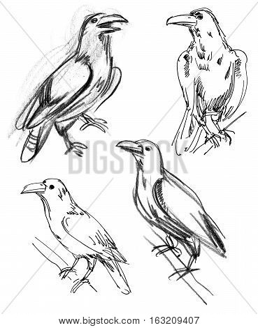 Common Raven. Set. Hand-drawn. Isolated on white background