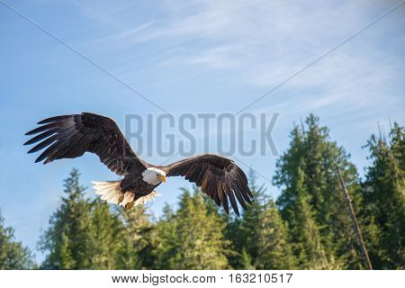 North American Bald Eagle mid flight on the hunt in Alaska