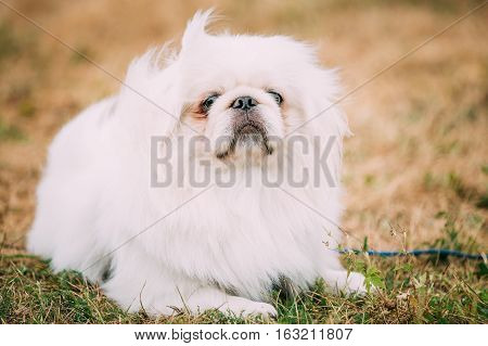 Young White Pekingese Pekinese Looking Up Outdoor. The Pekingese is an ancient breed of toy dog, originating in China.