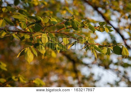 hornbeam tree branch with leaves in warm sunlight