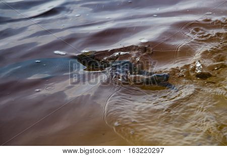 aspius in water fish swimming in the water the fish came off the hook the fisherman released the fish
