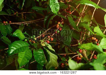 Close up of unpicked coffee raw red and green  beans on tree